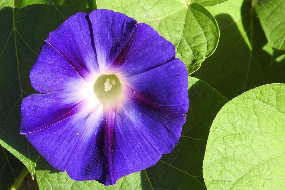 Morning Glory, Winds, Blue, Blue Blossom, Blossom