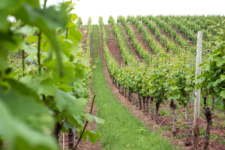 Wine, Wine Bushes, Plantation, Green, Series, Nature