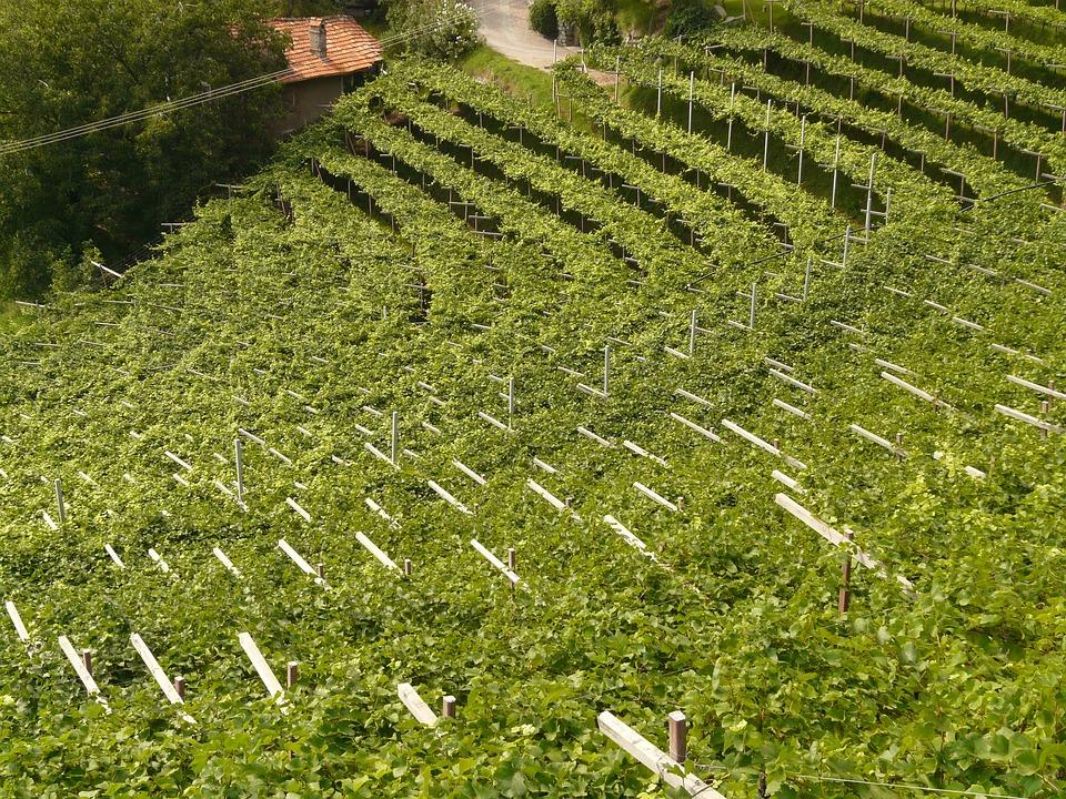Wine, Vineyard, Vine, Winegrowing, Plant, Cultivation