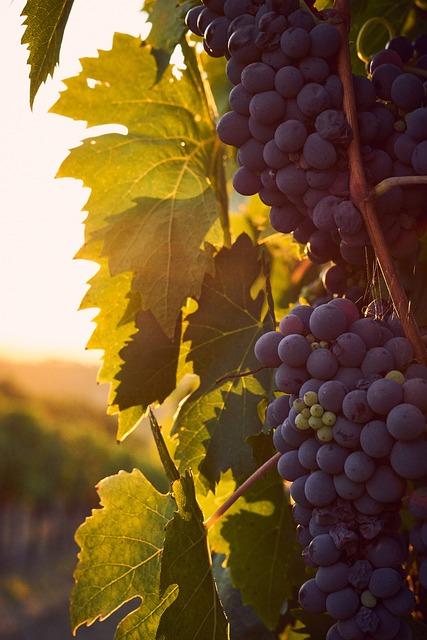 Italy, Tuscany, Vineyards, Wine, Grapes, Sunset