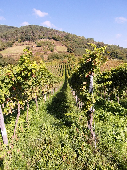 New Wine, Wine, Vintage, Wine Harvest, Grapes