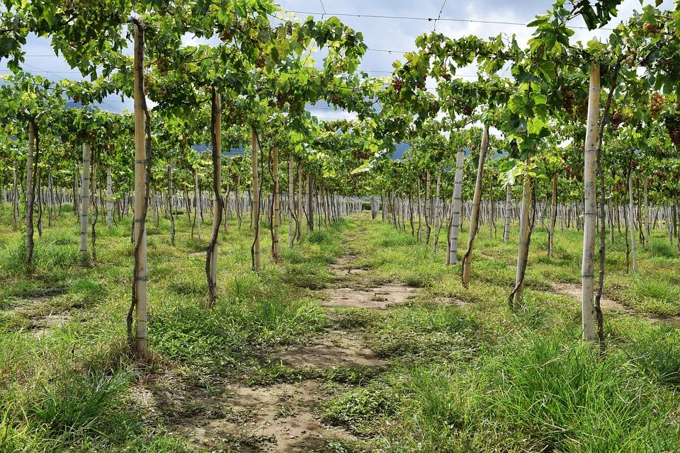 Grapes, Vineyard, Vine, Wine, Leaves, Cluster, Red Wine