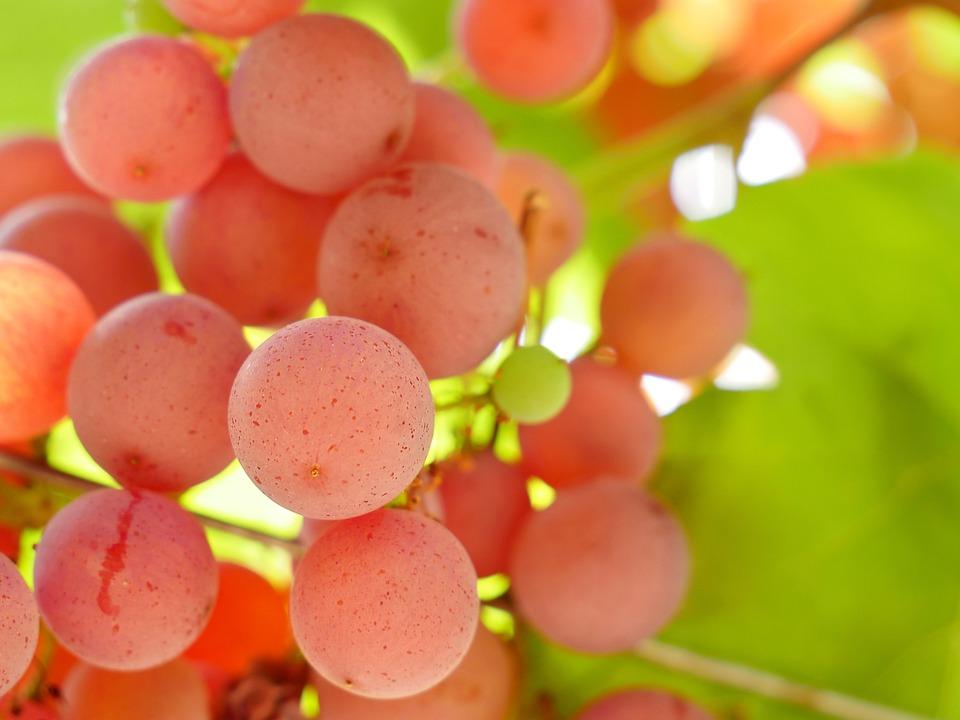 Grape, Vine, Wine, Fruit, Vineyard, Viticulture, Pink