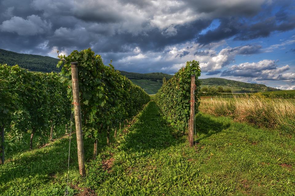 Vineyard, Wine, Winegrowing, Landscape, Nature, Vines