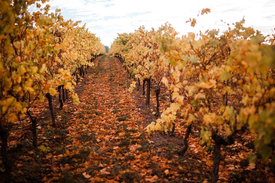 Vineyards, Winemaker, Wine, Vineyard, Winegrowing, Vine