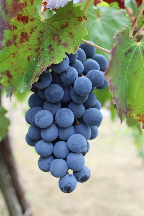 Grapes, Wine, Vintage, Screw, Vineyard, Agriculture