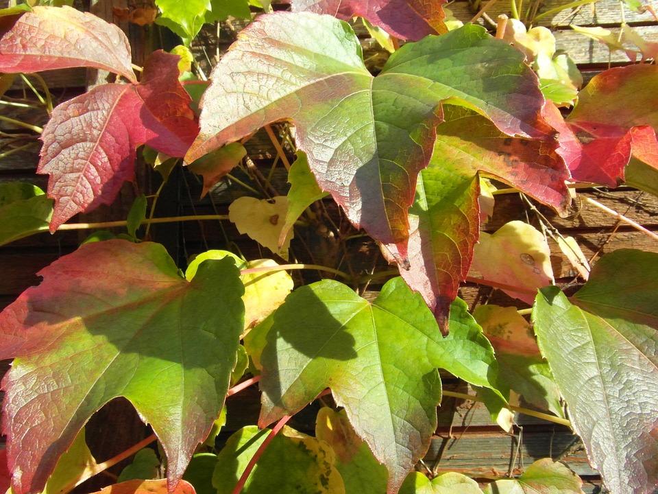 Wine Leaf, Wine, Vine, Wine Harvest, Vintage, Colorful