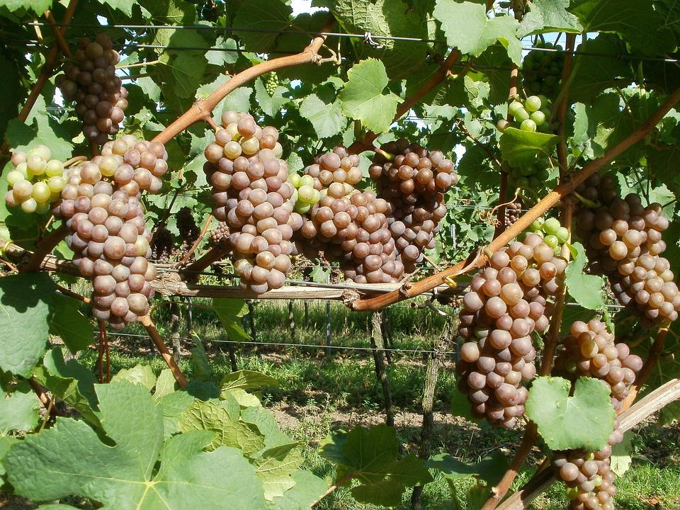 Vineyard, Grapes, Letzenberg, Wine, Winery, Harvest
