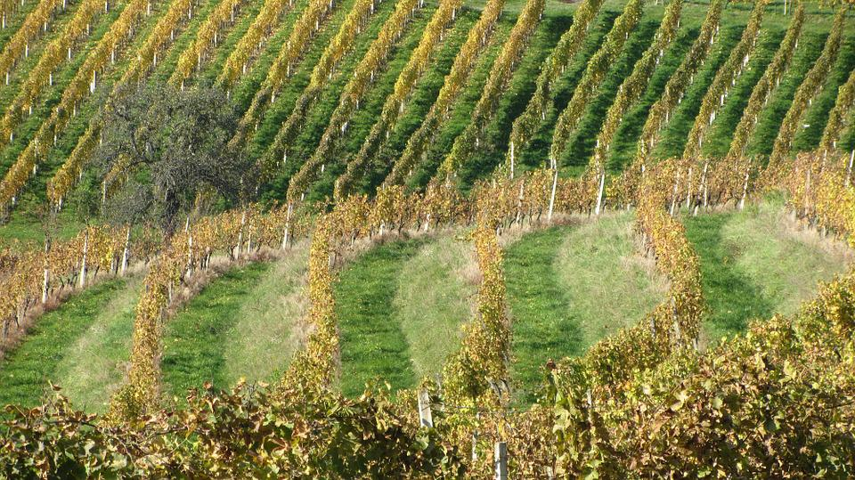 Wine, Vineyard, Vine, Winery, Agriculture, Nature