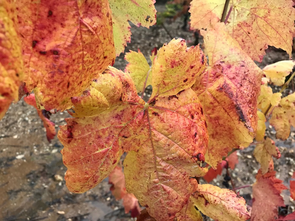 Winegrowing, Wine, Landscape, Vine, Autumn, Wine Leaf