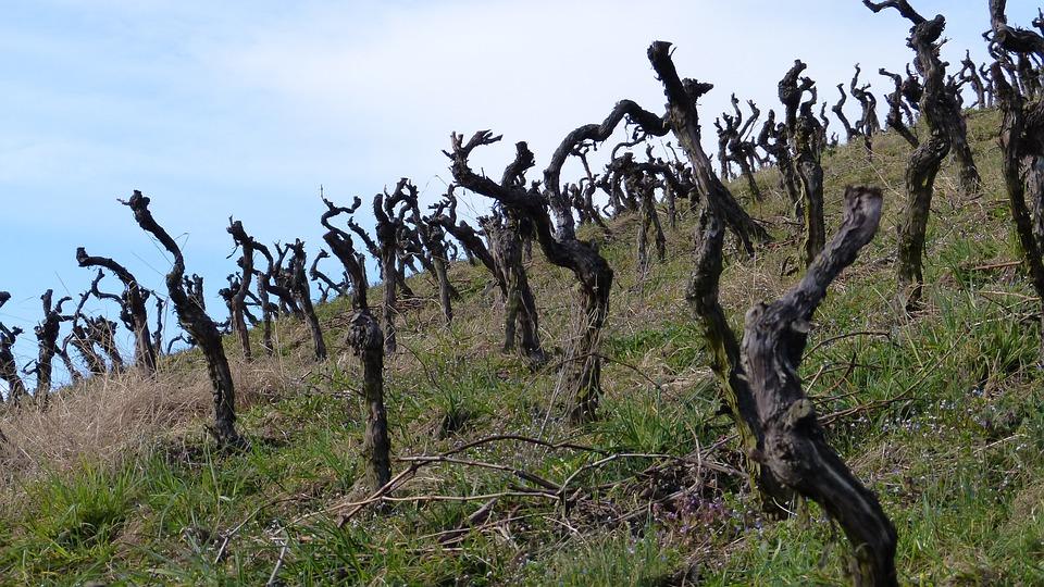 Vines, Vineyard, Gnarled, Vines Stock, Winegrowing