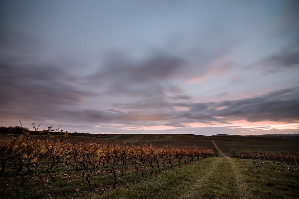 Vineyards, Winemaker, Vineyard, Wine, Winegrowing, Vine
