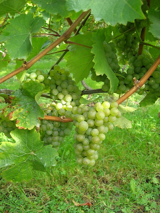 Wine, Grapes, Nature, Winegrowing, Vines, Time Of Year