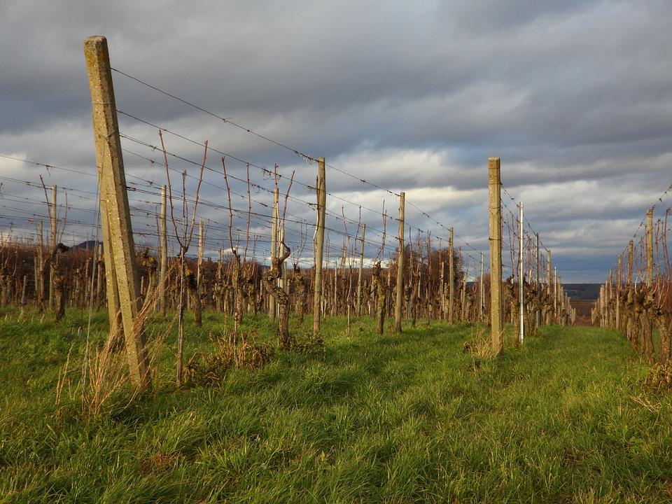 Landscape, Vines, Winegrowing, Wine Region, Vineyard