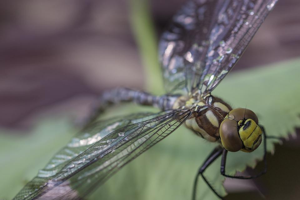 Dragonfly, Hawker, Insect, Green, Close, Animal, Wing