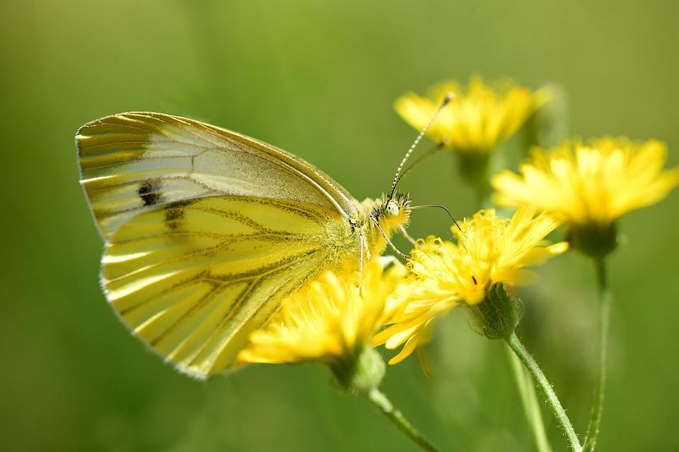 Cabbage White, Butterfly, Insect, Wing, Antennae, Eye