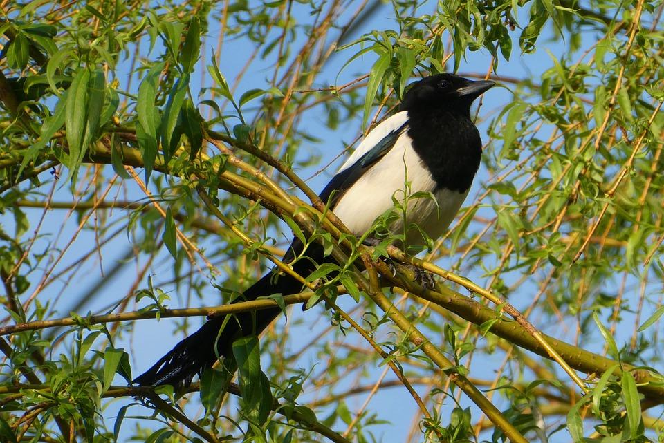Magpie, Tree, Branch, Bird, Beak, Birds, Wing, Tail