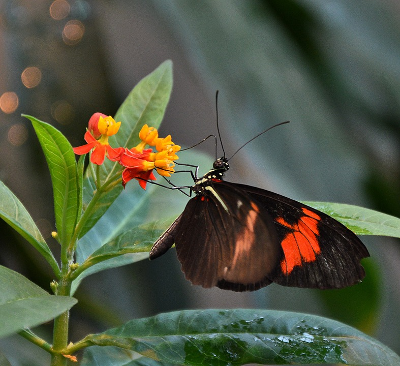 Butterfly, Black Orange, Wing