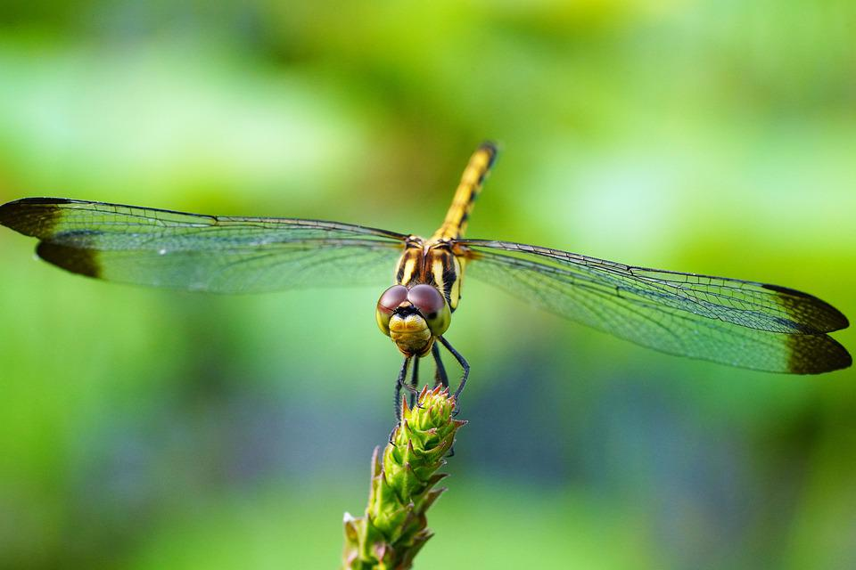 Dragonfly, Insect, Insects, Macro, Nature, Wing, Fly