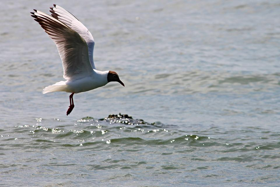 Black Headed Gull, Seagull, Flight, Fly, Wing