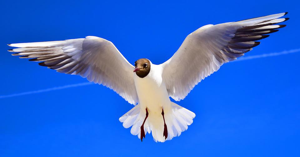 Gulls, Birds, Fly, Freedom, Sky, Feather, Wing
