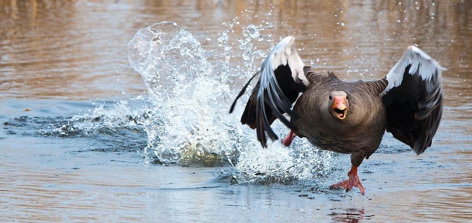 Greylag Goose, Goose, Water Bird, Wing, Take Off, Start