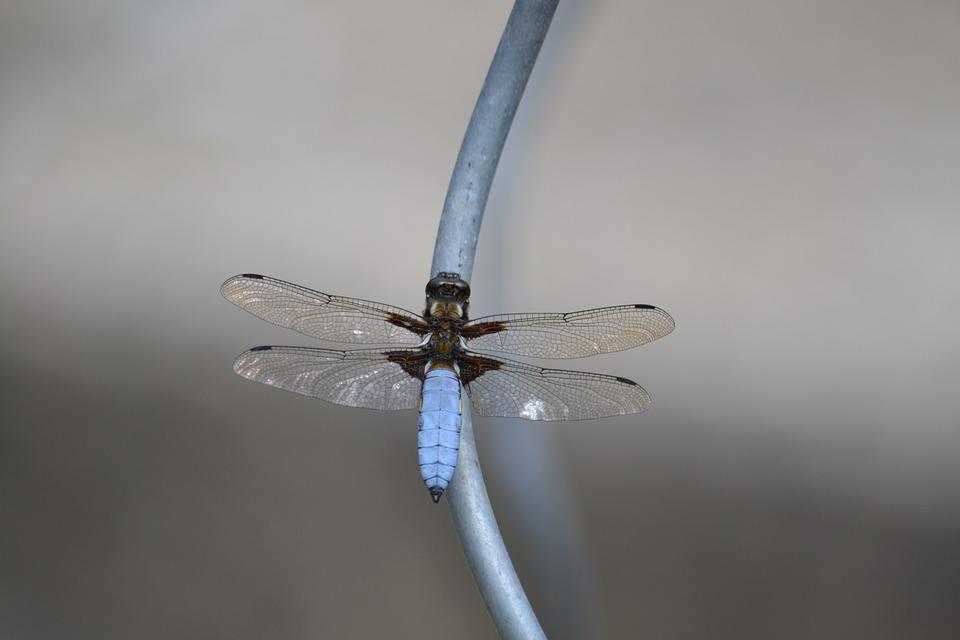 Dragonfly, Insect, Blue, Wing, Close, Flight Insect