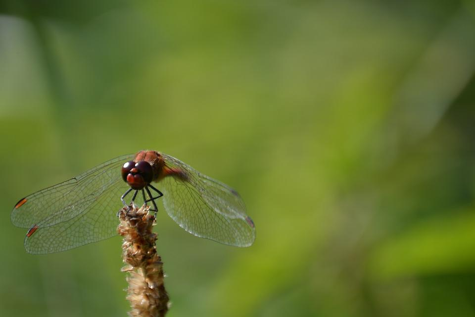 Dragonfly, Green, Insect, Nature, Wing