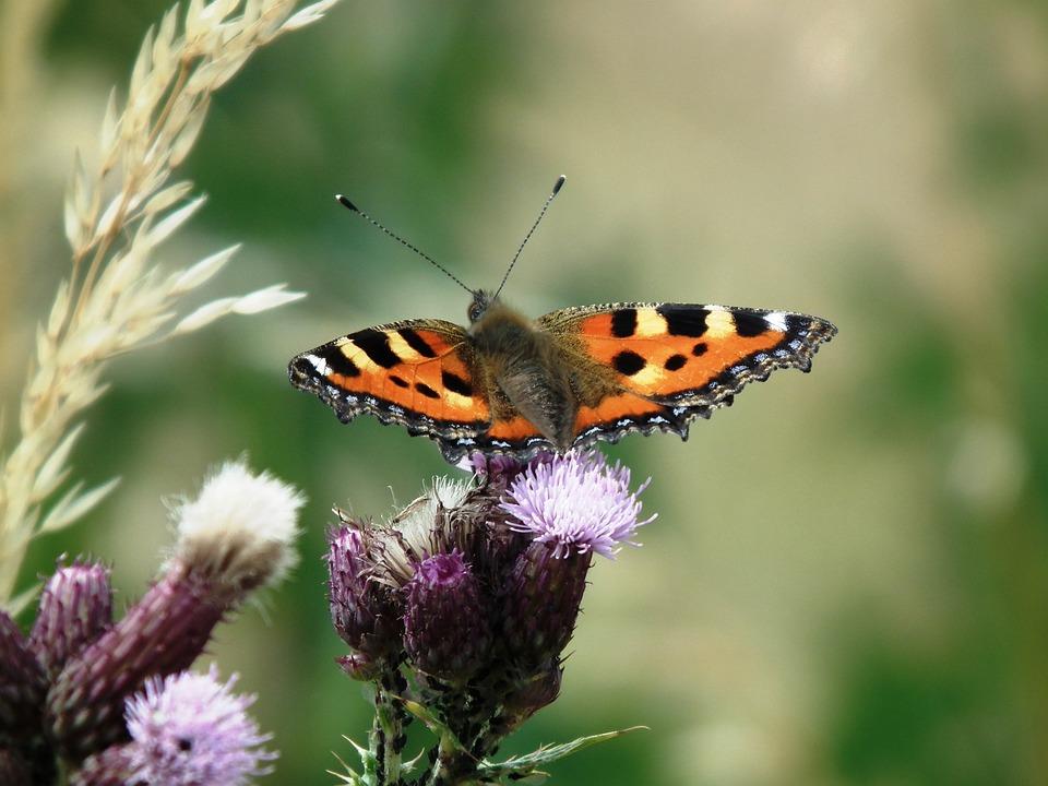Little Fox, Butterfly, Insect, Wing, Butterflies, Brown