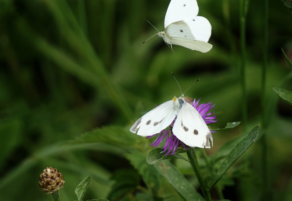 Butterfly, Insect, Nature, Animal, Wing, Flower, Macro