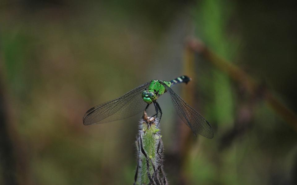Dragonfly, Nature, Fly, Wing, Bug, Wildlife, Green