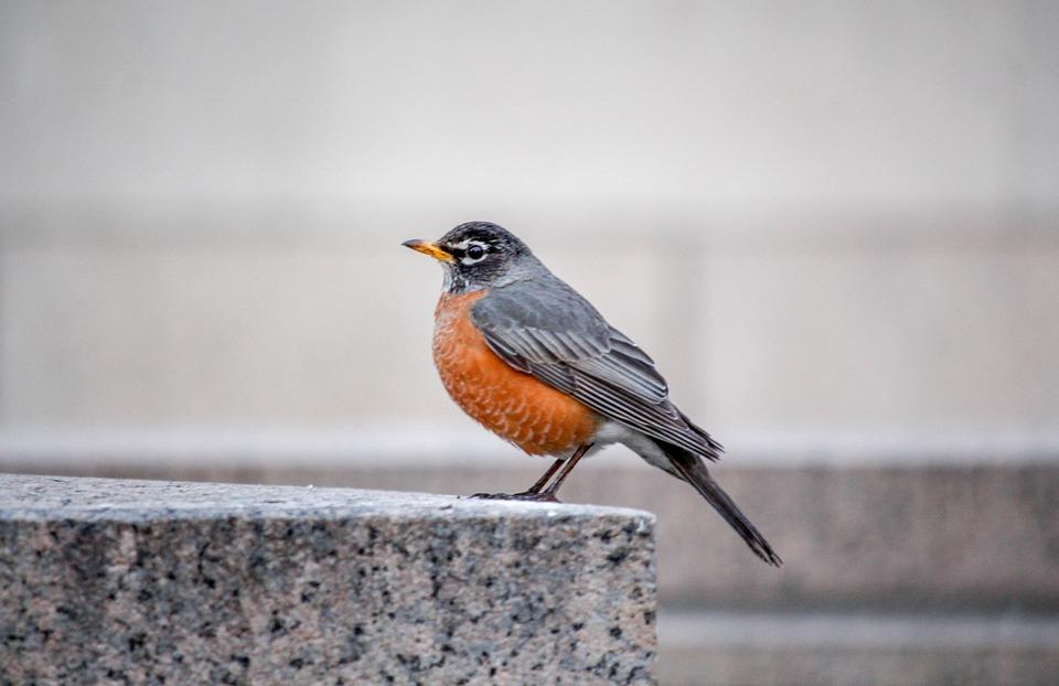 Bird, Wildlife, Nature, Wing, Robin