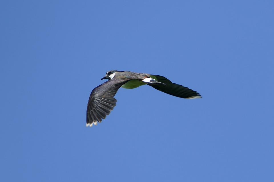 Lapwing, Flying, Bird, Wing, Freedom, Plumage
