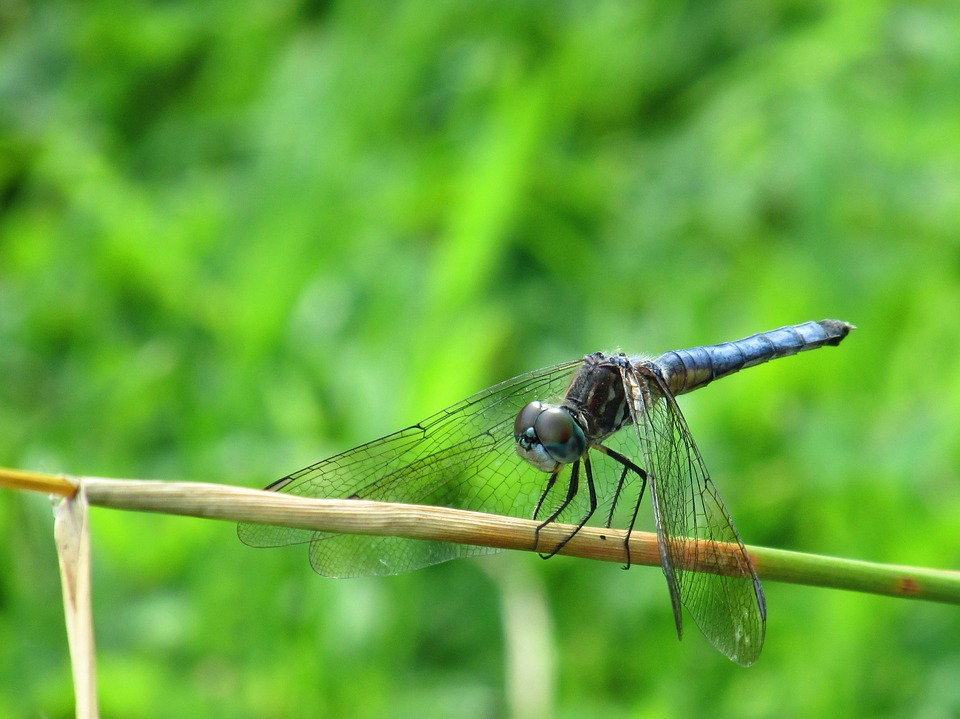 Dragonfly, Insect, Bug, Wing, Nature, Summer, Blue