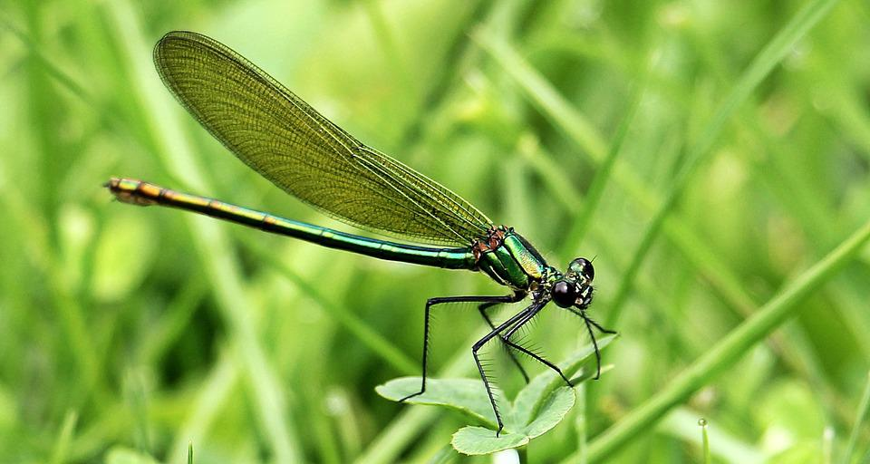 Dragonfly, Insect, Wand Dragonfly, Wing, Nature, Animal
