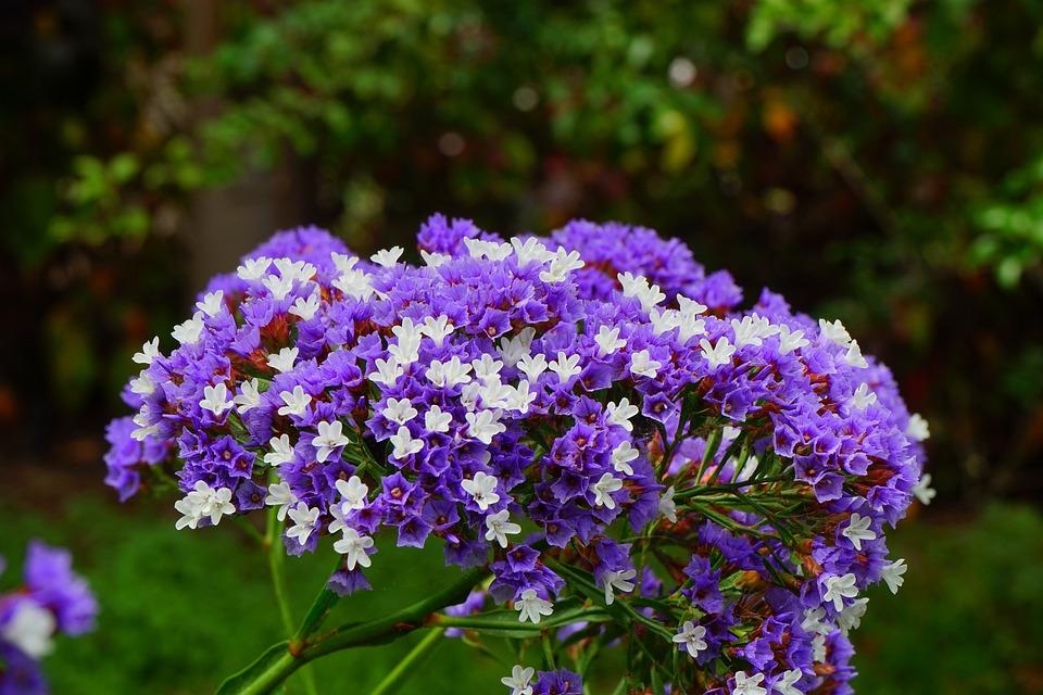 Winged Beach Lilac, Flower, Blossom, Bloom