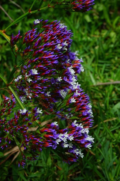 Winged Beach Lilac, Flower, Blossom, Bloom, Reddish