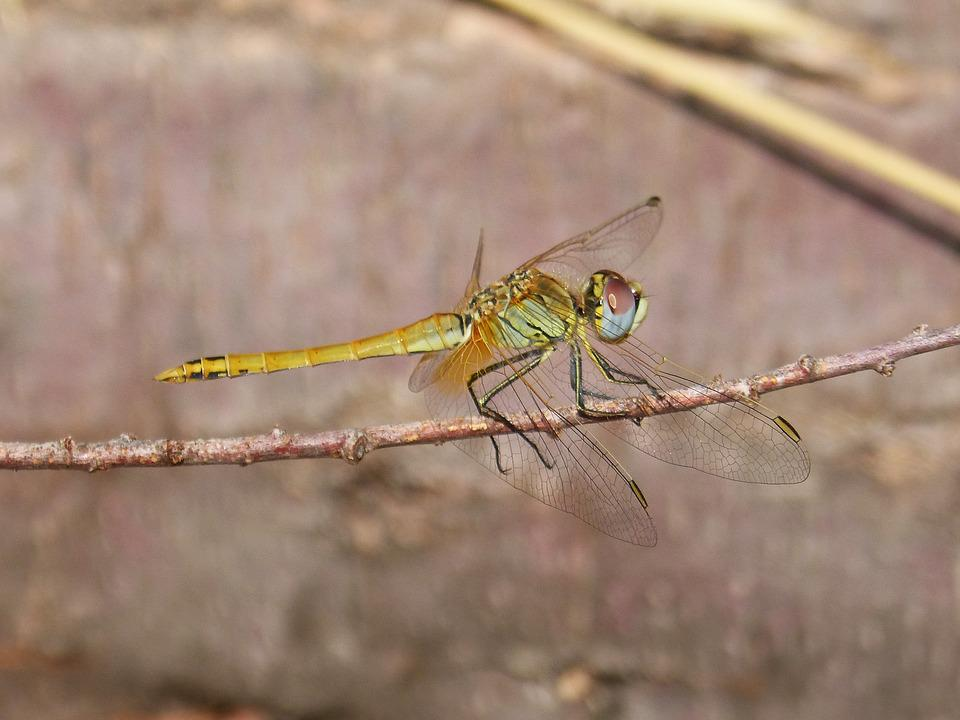 Dragonfly, Branch, Winged Insect, Annulata Trithemis