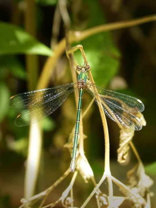 Green Dragonfly, Winged Insect, Iridescent, Beauty