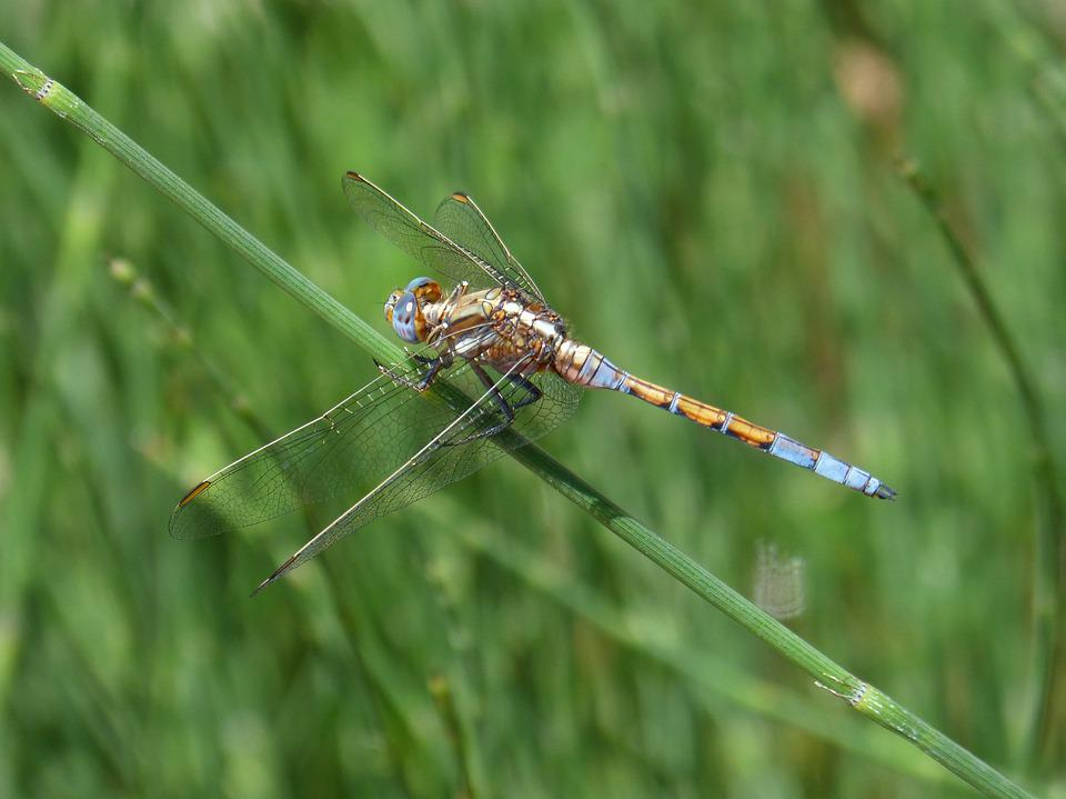 Dragonfly, Blue And Yellow, Winged Insect, Branch
