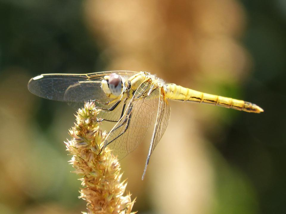 Dragonfly, Annulata Trithemis, Winged Insect, Detail
