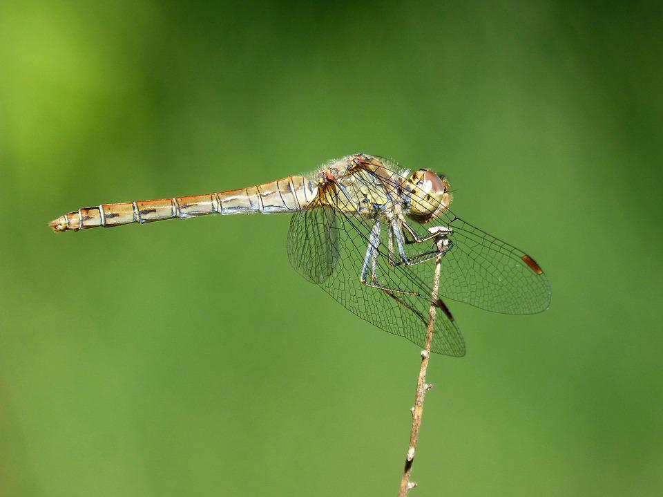 Dragonfly, Odonato, Detail, Winged Insect