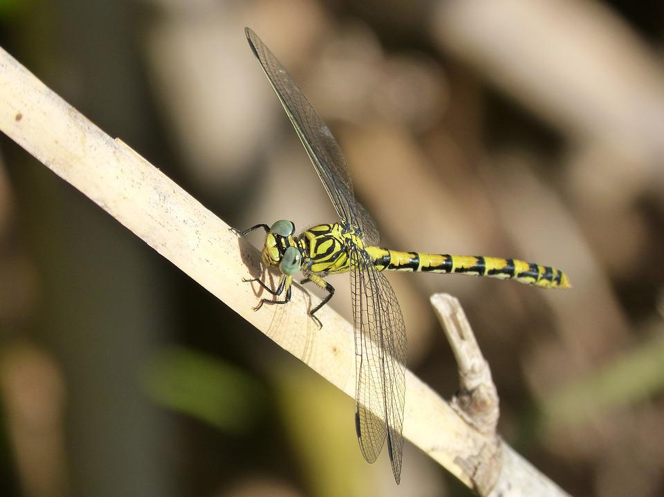 Dragonfly, Brindle, Yellow And Black, Winged Insect