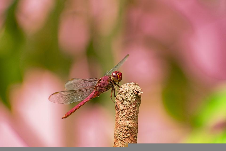 Dragonfly, Insect, Wings, Winged Insect