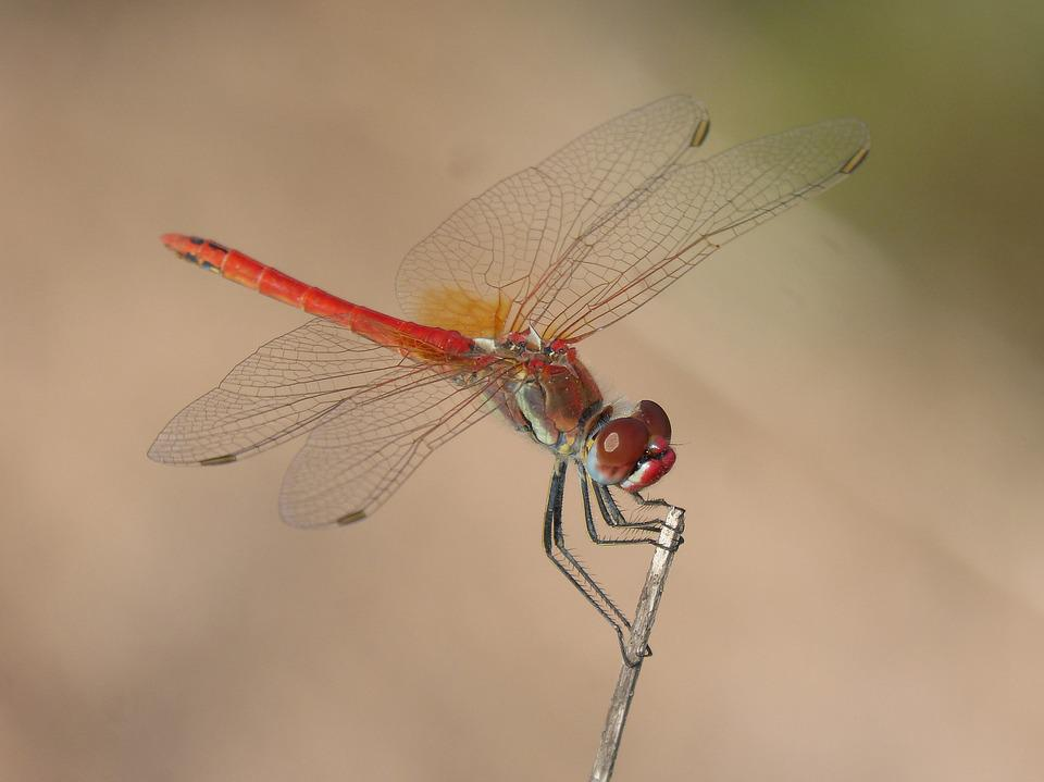 Red Dragonfly, Detail, Branch, Winged Insect