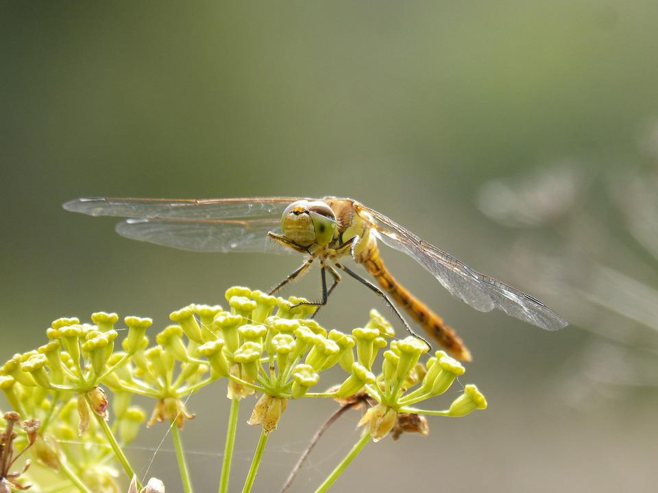 Ibélula, Yellow Dragonfly, Detail, Winged Insect