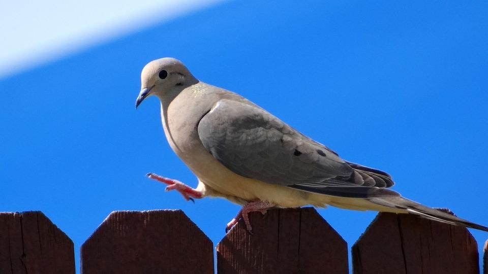 Dove, Bird, Fly, Wings, Feather, Wildlife, Beak, Wild