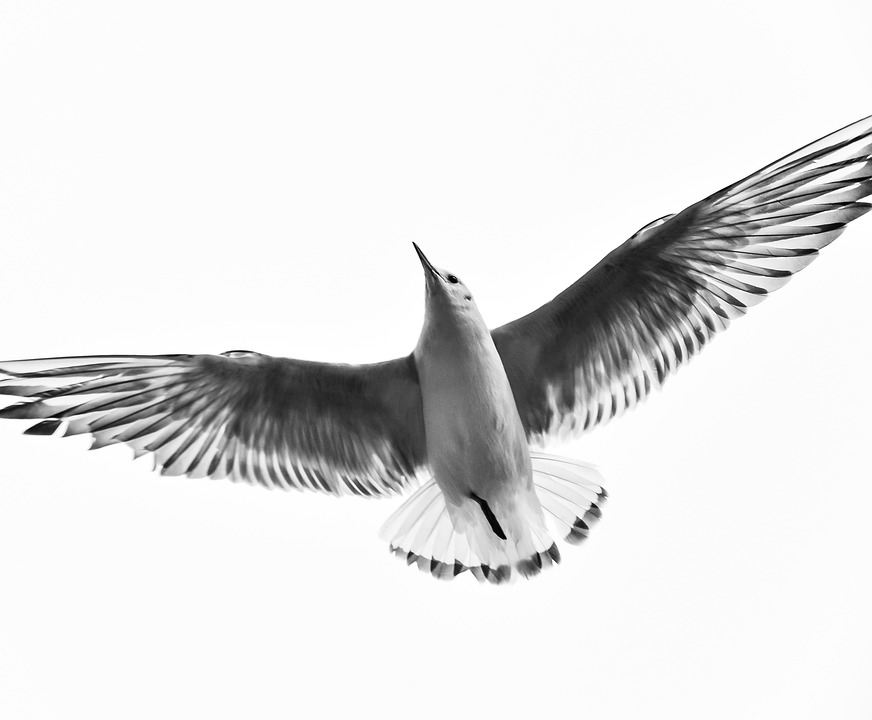 Black And White, Bird, Fly, Wings, Animal