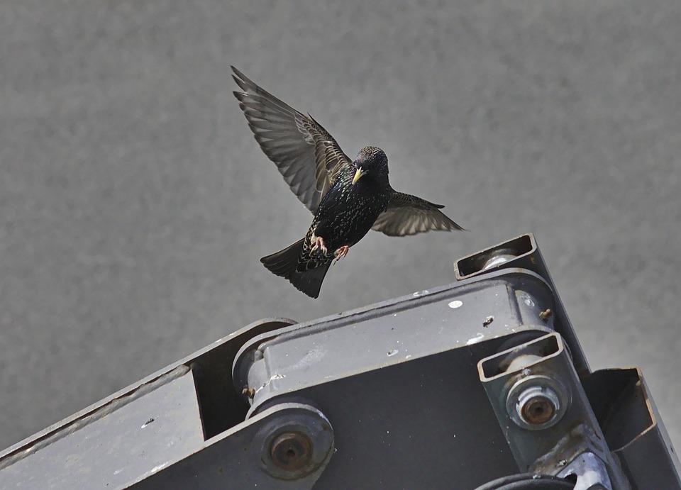 Starling, Bird, Common, Wild, Animal, Wings