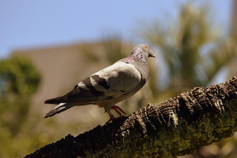 Dove, Breed, Wings